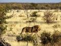 Etosha Lions2