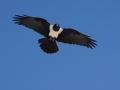 Etosha Sea Eagle