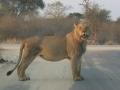 095 SAF Lion