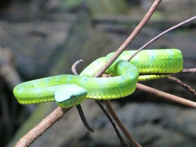 Bako Snake