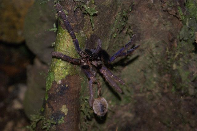 DV Tarantula