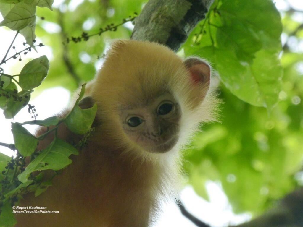 Borneo SilverMonkeyBaby