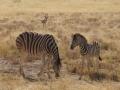 Etosha Zebras2