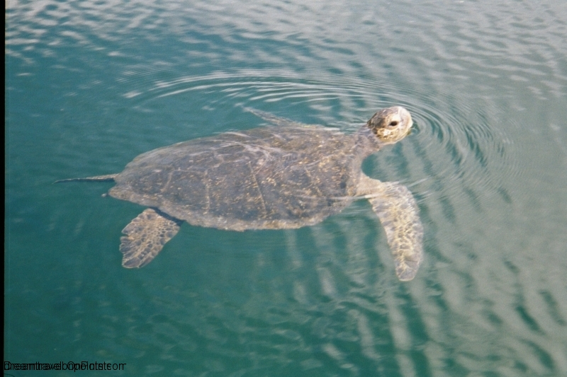 GAL10 Sea Turtle