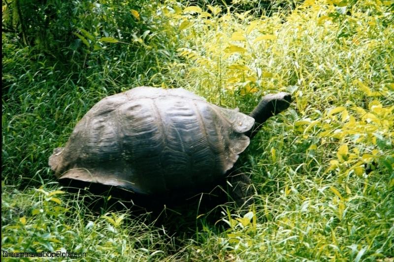 GAL11 Tortoise