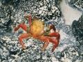 GAL13 Crab