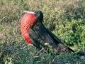 GAL24 Frigatte Bird