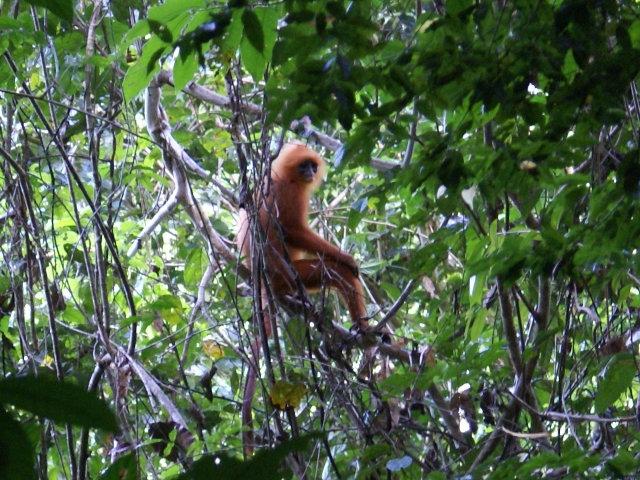 Danum Valley Redleaf Monkey