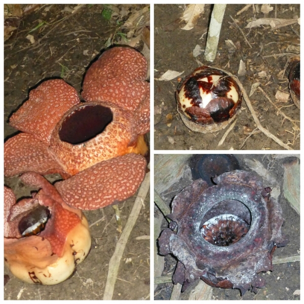 Rafflesia bud, bloom, dead