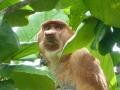Bako Proboscis2.jpg