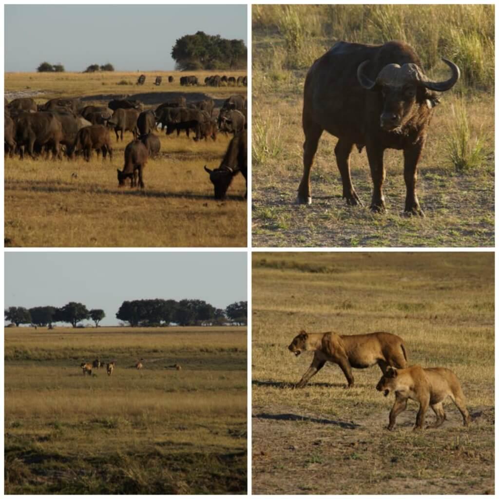 Chobe Lions Hunting Buffaloes
