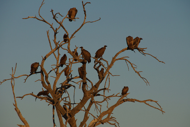 Chobe Vultures