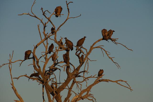 Chobe Vultures